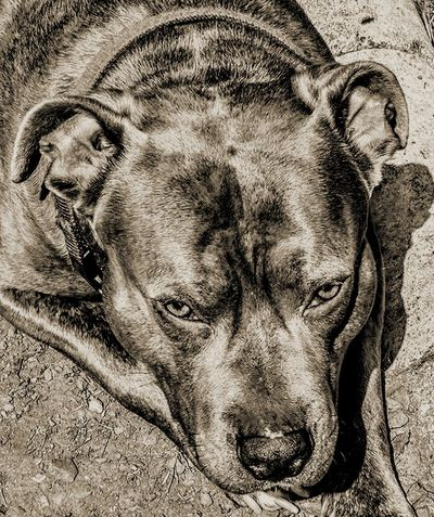"""""""mom, stop taking pictures of me...."""" Animal Themes Dog Mammal One Animal Domestic Animals Portrait Looking At Camera Pit Bull Terrier Pitbull Pibble Pibblelove Good Boy Handsome Look Into My Eyes... Window To The Soul The Week On EyeEm Eyeem Black And White EyeEm Best Edits Close-up My Serenity Outdoors Magnificent Brindle Brindle Pitbull Pet Portraits"""