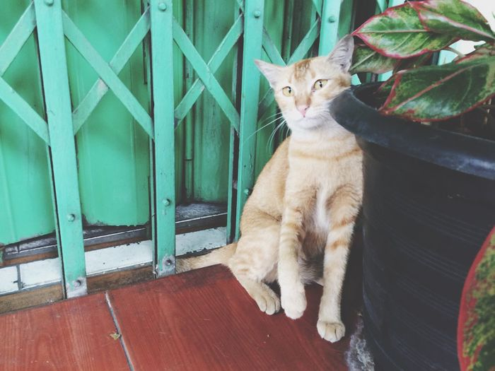 High angle portrait of ginger cat by potted plant against closed metallic gate