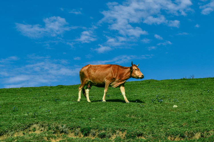 Cow on grassy field against sky