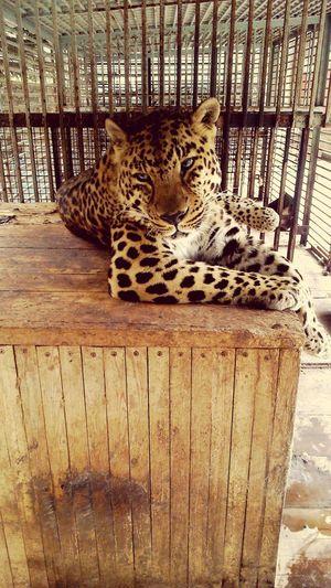 Leopard Pets