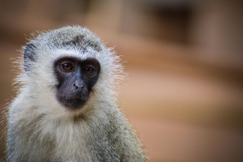 Close-up portrait of langur