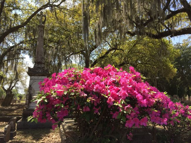 Peaceful Spring Color Magnolia Cemetary South Southern Southern Charm