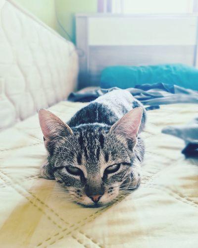 Cat Cats Graycat Animals Loveanimals
