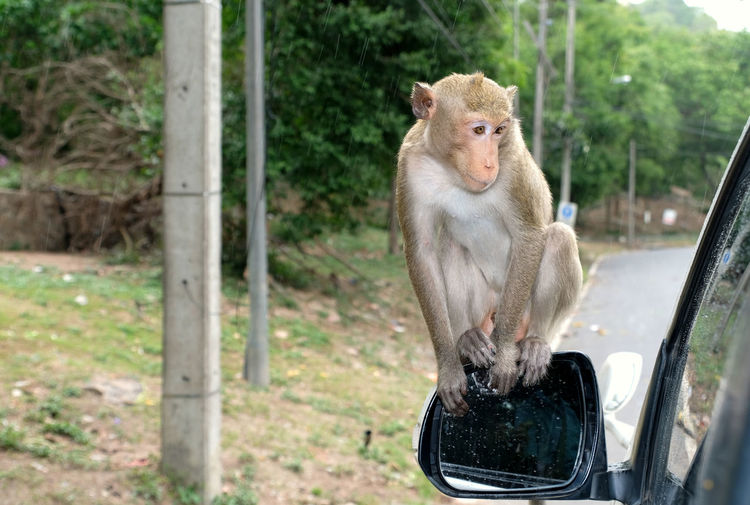 Cute crab-eating macaque monkey sits on the rear-view mirror and looking into the car.