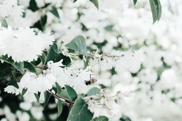 Close-Up Of Insect On White Flowering Plant