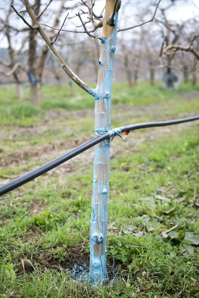 farmer use bordeaux mixture for protection apple tree Agriculture Apple Orchard Bordeaux Fungicides Apple Trees  Blue Brush Chemical Copper Sulfate Copper Sulphate Decease Gloves Limestone March Mixture  Pesticide Protection Springtime Yellow