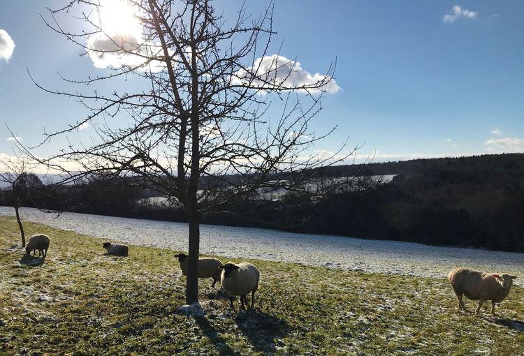#winter #sun Domestic Animals Animal Themes Mammal Bare Tree Livestock Grazing Nature No People Tree Sky Landscape Outdoors Sheep