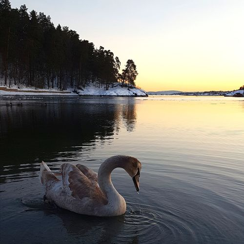 Swan Cold March