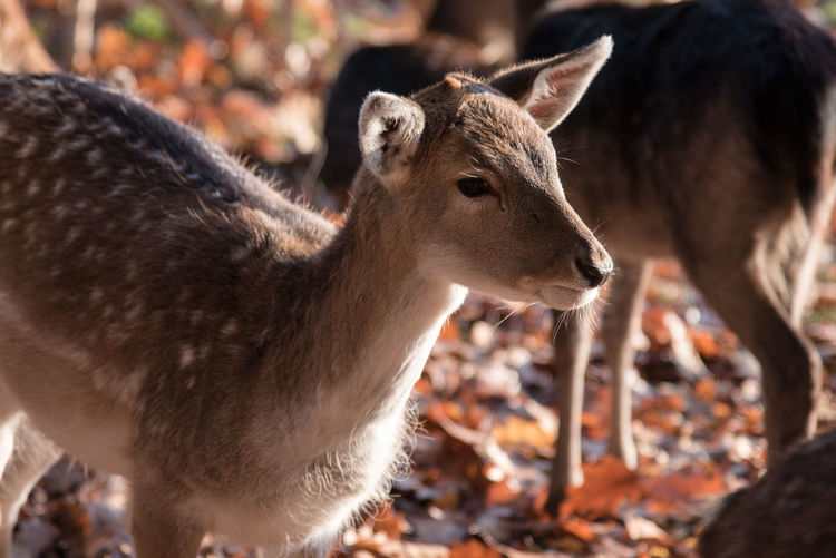 Animal Themes Animals In The Wild Autumn Close-up Day Deer Leaves Mammal Nature No People Outdoors Sunlight Togetherness