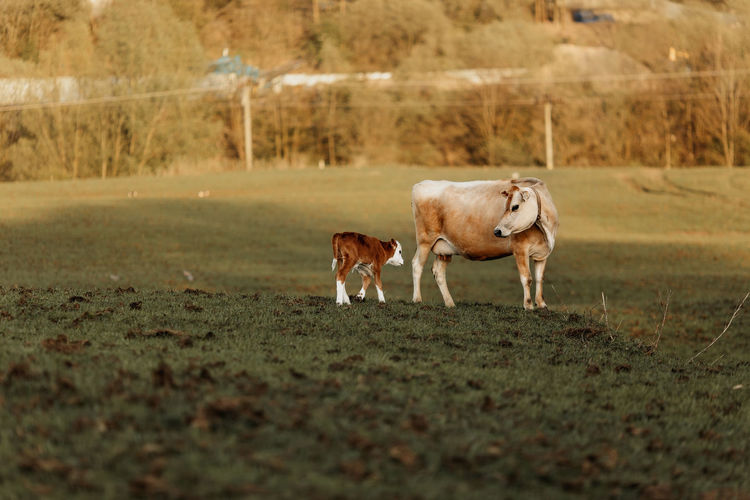 Cow and calf standing in a field