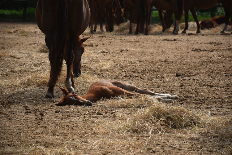 Beautiful hungarian gidran foal is resting next to her mother