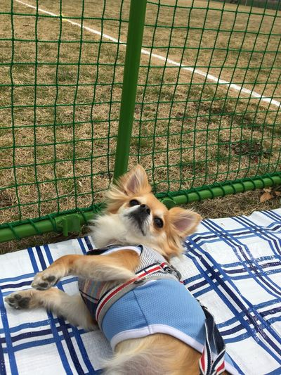 What? Pets One Animal Dog Fence No People Outdoors Niko Chihuahua 2yearsold  Chihuahua Love ♥ Make You Coffee