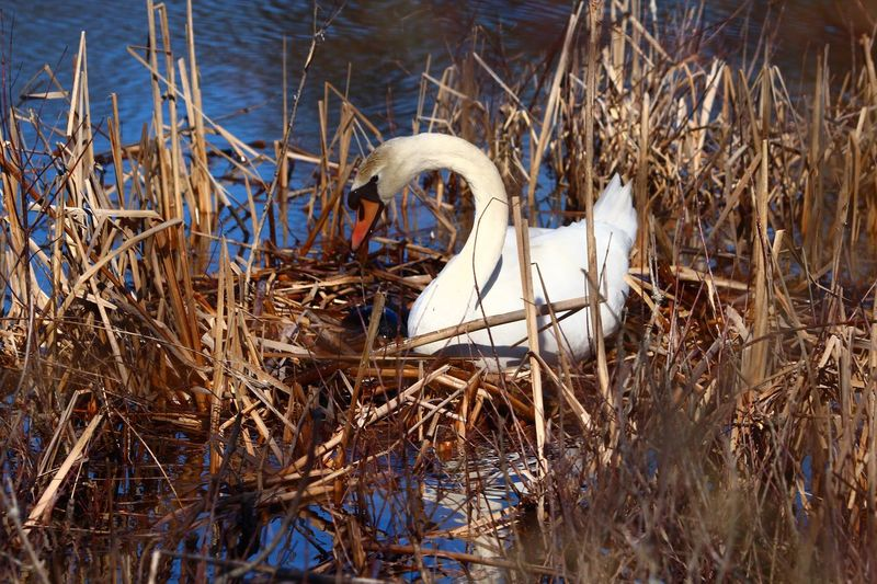 Nest Building Mute Swan Water Nature Plant No People Day Grass Animal Themes