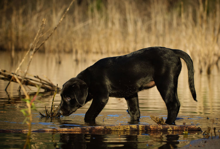 Black Labrador Retriever dog outdoor portrait Baby Black Lab Black Labrador Retriever Labrador Animal Themes Close-up Day Dog Domestic Animals Full Length Labrador Retriever Lake Nature No People One Animal Outdoors Pets Portrait Puppy Reflection Retriever Water Waterfront
