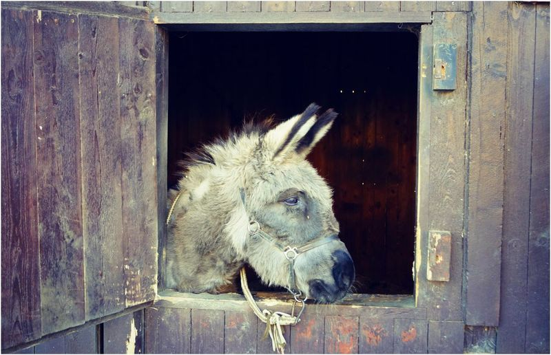 Animal Head  Animal Themes Barn Close-up Day Domestic Animals Door Horse Livestock Mammal No People One Animal Outdoors Stable Wood - Material