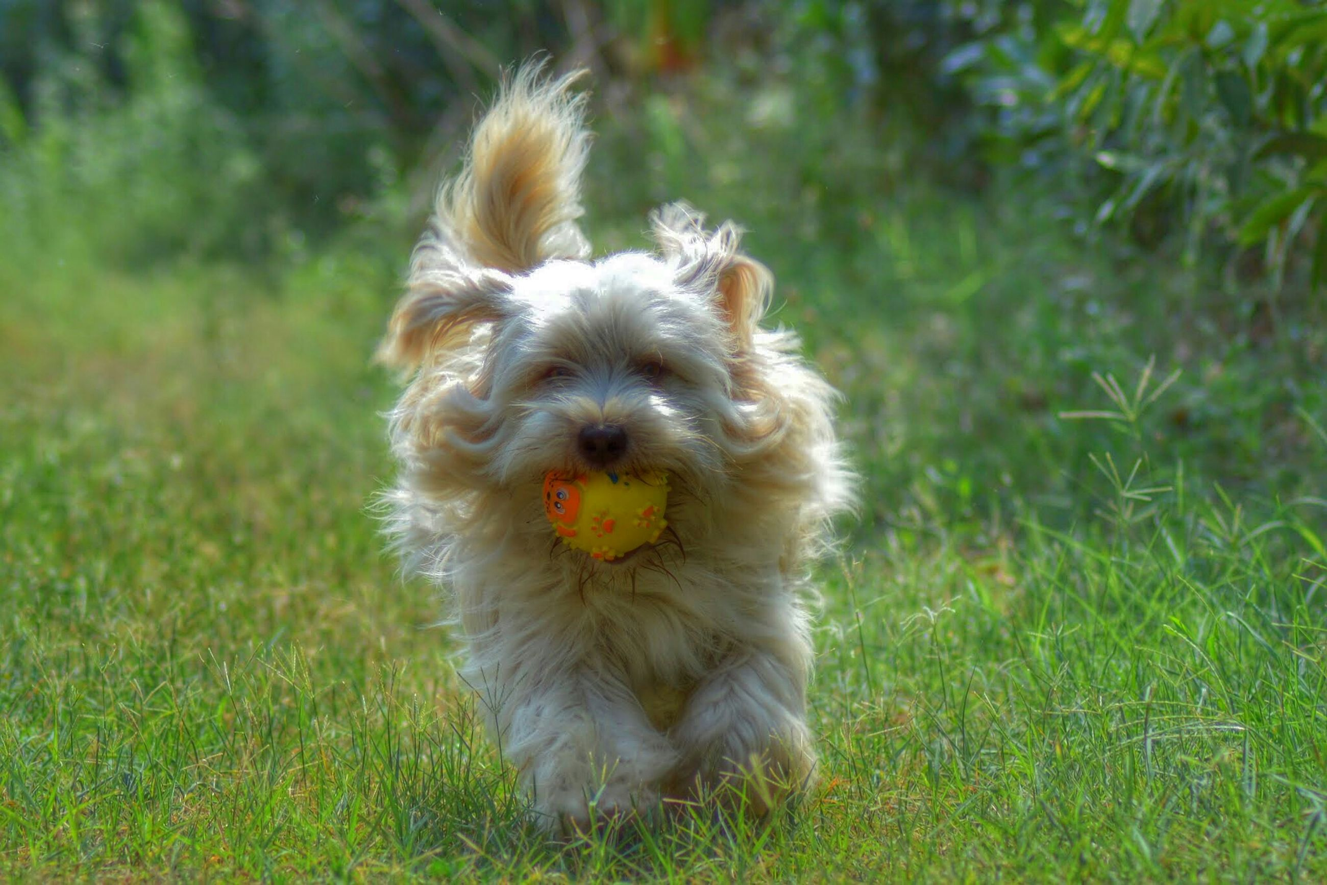 animal themes, dog, pets, one animal, domestic animals, grass, mammal, animal hair, field, grassy, focus on foreground, cute, sticking out tongue, full length, portrait, no people, looking at camera, front view, mouth open, close-up