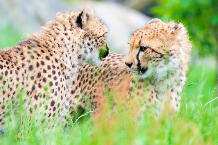 Siblings Animal Wildlife Feline Animals In The Wild Cat Animal Big Cat Animal Themes Mammal Group Of Animals Two Animals Cheetah Safari Grass No People Day Spotted Plant Togetherness Nature Undomesticated Cat Animal Family Kristiansand Dyrepark First Eyeem Photo
