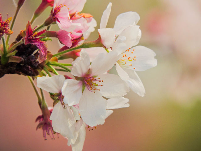 It is not length of life, but depth of life.  - Ralph Waldo Emerson Beauty In Nature Blooming Blossom Botany Branch Cherry Blossom Close-up Day EyeEm Nature Lover Flower Flower Head Fragility Freshness Growth Nature No People Outdoors Petal Sakura Springtime Stamen Tree White Color サクラ 瞬間の美