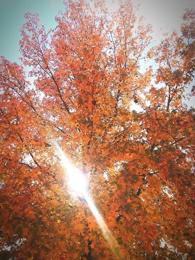 day 4 Tree Trees And Sky Leaves 🍁 Dying Leaves Fall Colors Fall Leaves Sunlight 😘😍❤💕👀 Beautiful Sky❤ Close-up Sky Backgrounds