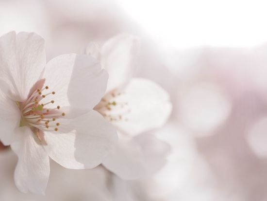 Cherry blossoms. #miyagiken #sendai #EyeEmLoveOfNature #EyeEm Nature Lover #flowers #spring #cherryblossom