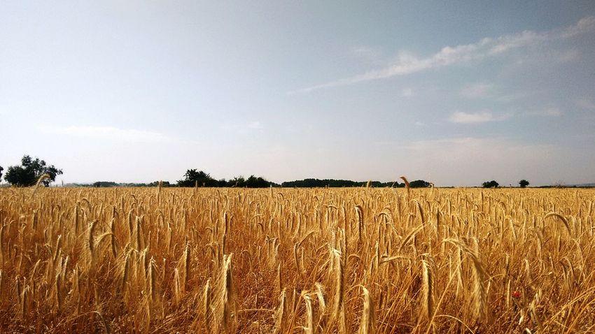 Wheat fields near Teleno Mountain in Leon, near of Villalis de la Valduerna