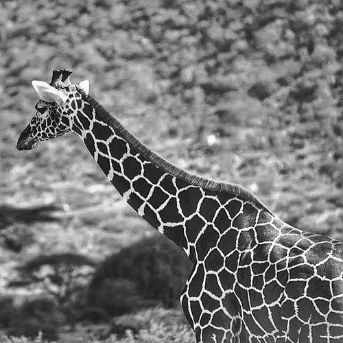 :// 🎥 Giraffe