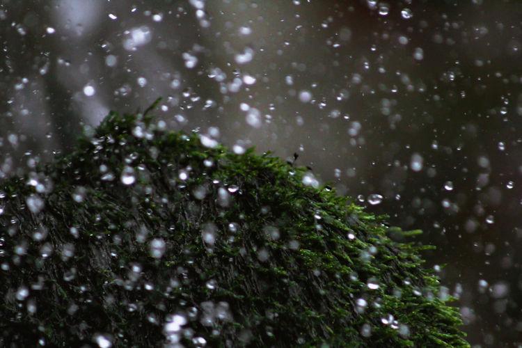 Raindrops on pine tree