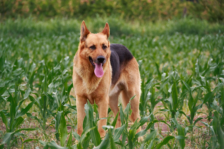 Dog in a corn field One Animal Mammal Dog Pets Domestic Animals Grass Portrait Nature Canine Cute Cute Pets Cute Dog  German Shepherd Pastor Alemán Perro Field Puppy Big Dog Corn Field Corn Buenosaires Bogotá Argentina Pet Photography