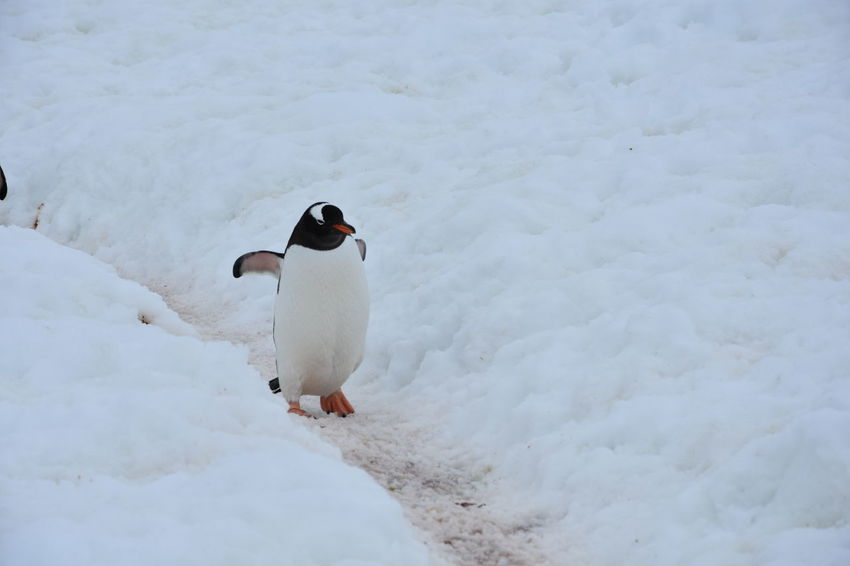 Animals In The Wild Antarctic Antarctic Peninsula Antarctica Chinstrap Penguin Frozen Gentoo Penguin Gentoo Penguins Glacier Ice Iceberg Icebergs Penguin Penguin Colony Penguins Snow Winter Landscape Winter Wonderland