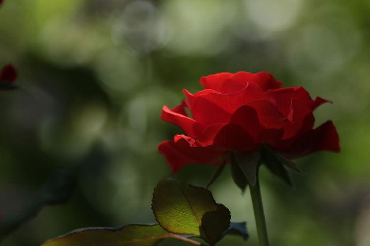 薔薇の日常 日本 Japan 薔薇 夏の花 赤い薔薇 花 植物 愛 Roses Love Plant Red Flower First Eyeem Photo EyeEmNewHere Plant Life Single Parent