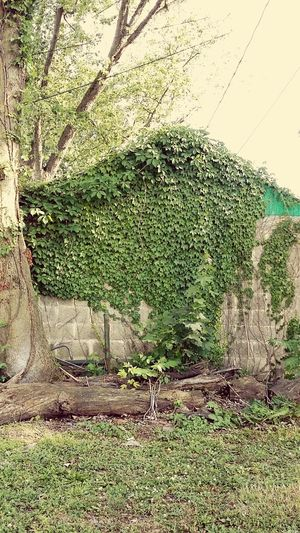Stone brick shed covered in ivy. Building Ivy Reclaimed By Nature Brick Wall Old Building  Tree Dilapidated Feel The Journey