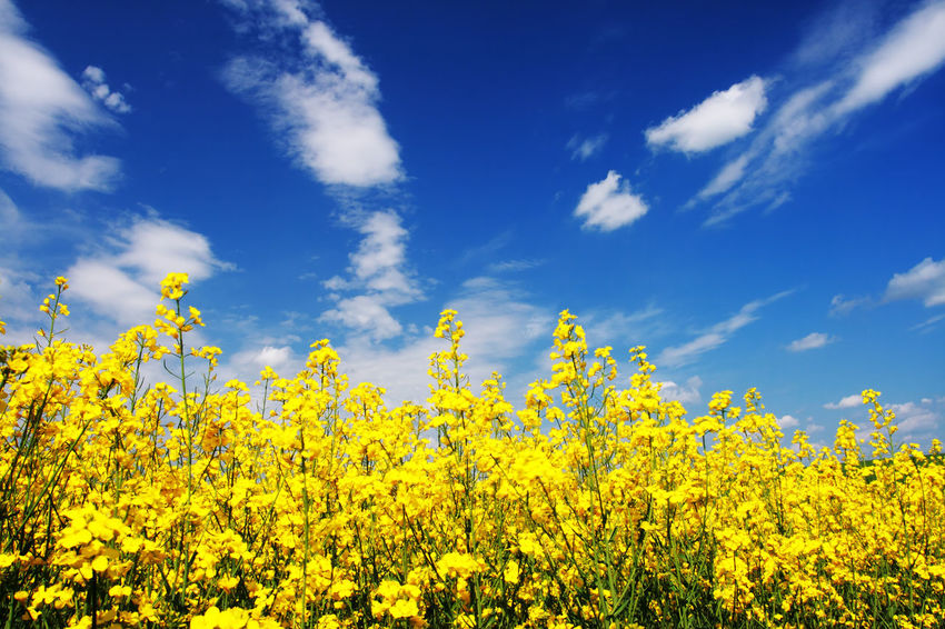 Abundance Agriculture Beauty In Nature Blooming Blossom Blue Cloud Cloud - Sky Day Field Flower Fragility Freshness Growth In Bloom Landscape Nature Outdoors Plant Rural Scene Scenics Sky Tranquil Scene Tranquility Yellow