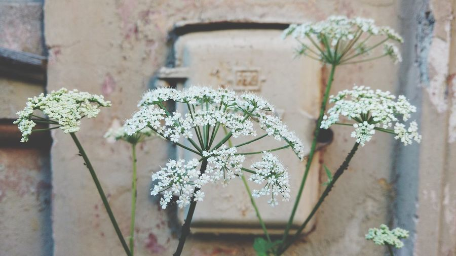 Yarrow Nature