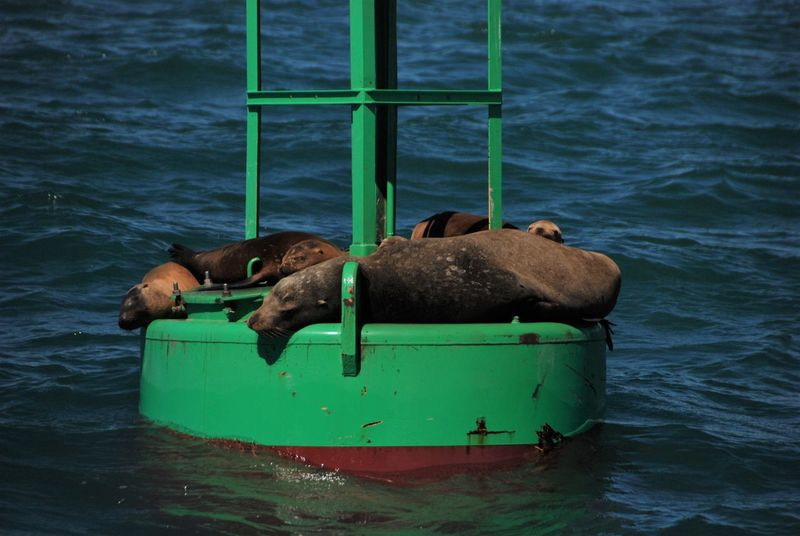 Animal Themes Animals In The Wild Buoy Dana Point Harbor Day Lazing Around Mammal Nature No People Outdoors Resting Sea Sea Life Sea Lions Water