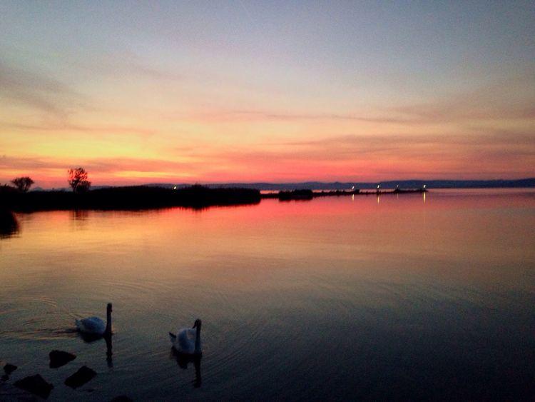 Balaton - Hungary Swans Sunset Long Goodbye EyeEmNewHere The Great Outdoors - 2017 EyeEm Awards Adventures In The City #FREIHEITBERLIN