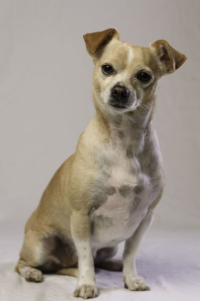 Canine Chihuahua - Dog Dog Domestic Domestic Animals Full Length Indoors  Looking Looking At Camera Mammal No People One Animal Pets Portrait Sitting Studio Shot Vertebrate