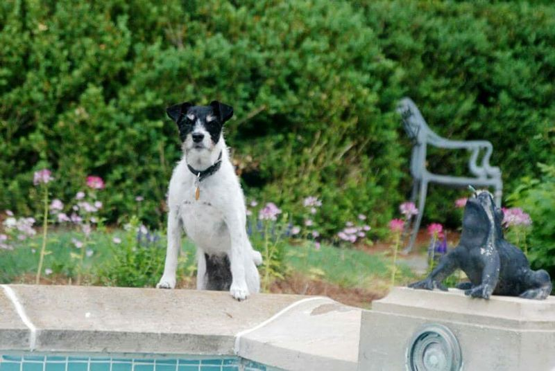 Jrt Jackrussell Parsonsjackrussell Dogslife North Carolina Winston-Salem Jackrussellterrier Reynolda House