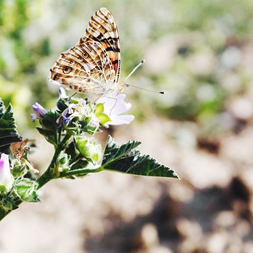 EyeEmNewHere Insect Butterfly - Insect One Animal Focus On Foreground Animal Themes Animals In The Wild Close-up Flower Nature Fragility Feeding  Beauty In Nature Day Plant Freshness Outdoors Pollination No People Butterfly Perching