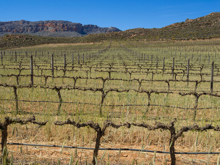 Wine grapes growing on vineyard in Cedarberg Mountains of South Africa Agriculture Farm South Africa Agriculture Arid Arid Climate Beauty In Nature Cedarberg Day Field Grape Landscape Mountain Nature No People Outdoors Plantation Rural Scene Scenics Tranquil Scene Tranquility Vineyard Vinyard Wine Wine Grapes