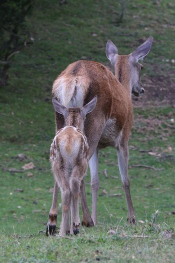 Mammal Animal Themes Animals In The Wild Field Animal Wildlife Standing Young Animal Domestic Animals Full Length Day No People Nature Outdoors Grass Deer Calf Mother