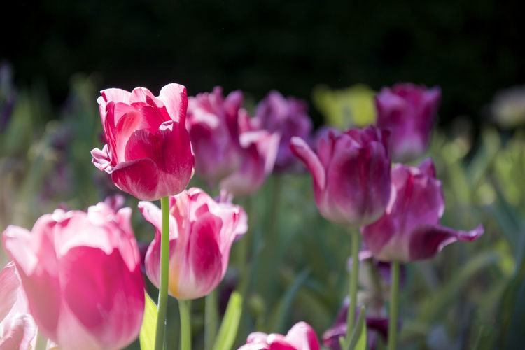 Blooming pink tulips flower in the garden with sunlight and black background from the shadow of the tree Plant Vulnerability  Petal Pink Color Nature Outdoors Botany No People Inflorescence Growth Freshness Flowering Plant Flower Beauty In Nature Day Blooming Garden Sunlight Shadow Park