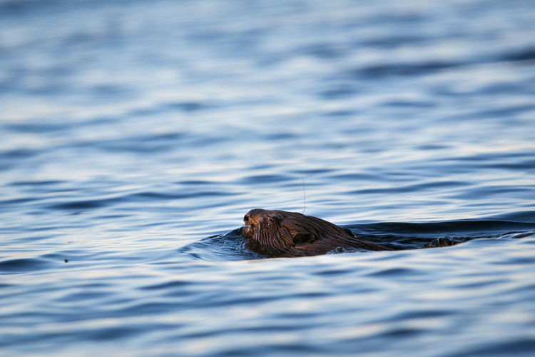 High angle view of beaver swimming in lake