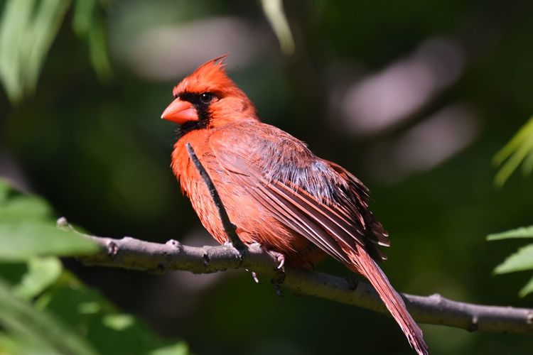 Close-up of cardinal perching on plant