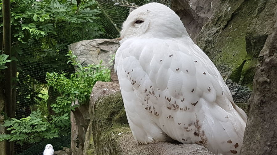Snow Owl Harry Potter Owl White Spotted Owl Bird Animal Wild Animal Zoo Harry Potter Bird Bird Of Prey Mourning Dove Perching Close-up Owl Feather  Animals In Captivity Captivity