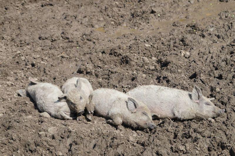 Small Pigs No