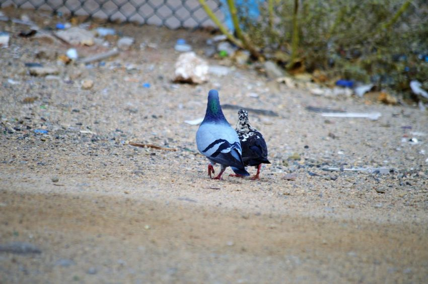 Animal Themes Animal One Animal Bird Animal Wildlife Animals In The Wild Vertebrate Day No People Selective Focus Land Nature Field Outdoors High Angle View Close-up Pigeon Mammal Full Length Blue
