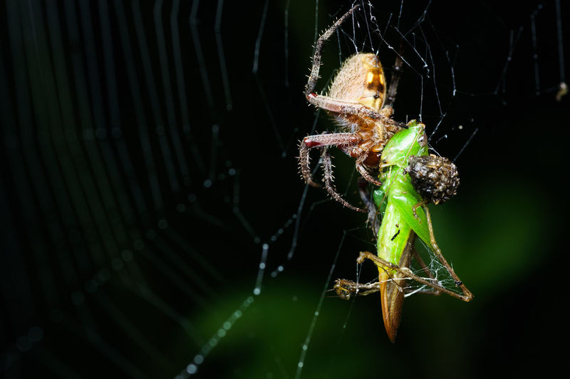 spider on web with prey in nature Macro Photography Nature Nightphotography Spider Animal Themes Animal Wildlife Animals In The Wild Close-up Focus On Foreground Grasshopper Insect Macro Nature Night No People One Animal Outdoors Prey Spider Spider Web Spiderweb Survival Web