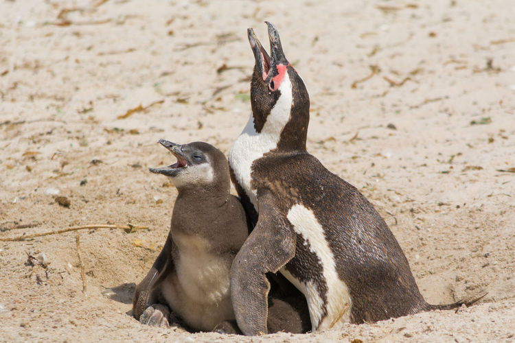 View of a penguin