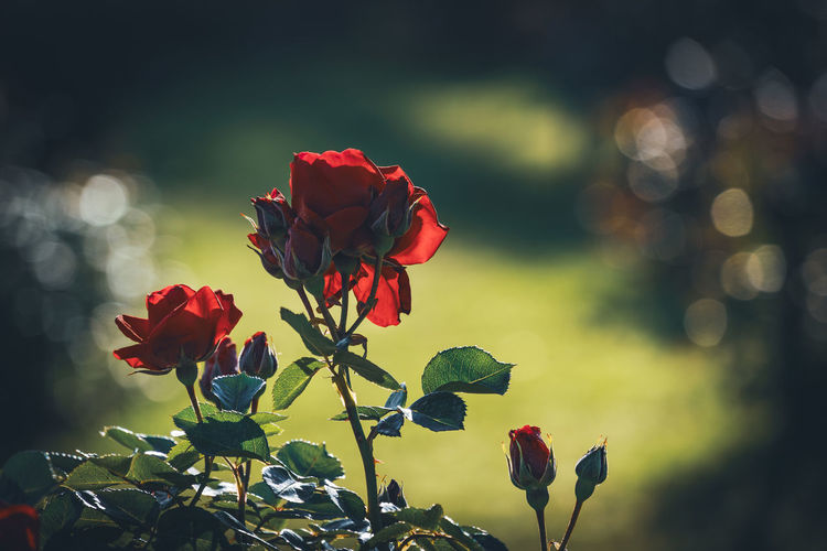 Close-up of red rose against blurred background