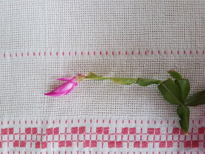 Schlumbergera Christmas Cactus Pink Blossom Blossom Pink Leaf Tablecloth Textured  Close-up Blooming